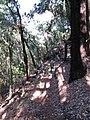 Starr-091115-1130-Eucalyptus sideroxylon-habit with Forest on trail-Olinda-Maui (24963609856).jpg
