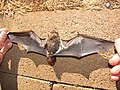 Starr-100907-9072-Eucalyptus sp-habitat with Hawaiian hoary bat Lasiurus cinereus semotus-Olinda-Maui (25025062416).jpg