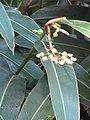 Starr-110209-0940-Alpinia zerumbet-flowers and leaeves-Resort Management Group Nursery Kihei-Maui (24981678641).jpg