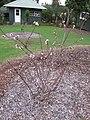 Starr-110217-1499-Prunus persica var persica-Florida Prince flowering and immature fruiting habit-Olinda-Maui (24958256512).jpg
