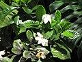 Starr-110330-4258-Gardenia augusta-flowers and leaves-Garden of Eden Keanae-Maui (24454620843).jpg
