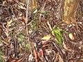 Starr-110827-8310-Psilotum nudum-habit-Waihee Ridge Trail-Maui (24472985704).jpg