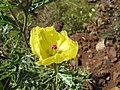 Starr-111129-1555-Argemone mexicana-flower-Polipoli-Maui (24752914689).jpg