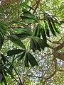 Starr-120522-5957-Unknown arecaceae-leaves-Iao Tropical Gardens of Maui-Maui (25142949135).jpg
