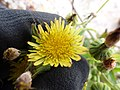Starr-150403-0984-Sonchus oleraceus-flowers-Southeast Eastern Island-Midway Atoll (24650604353).jpg