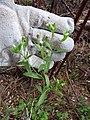 Starr-170225-0051-Conyza bonariensis-flowers-Lower Waiohuli Trail Polipoli-Maui (32566843733).jpg