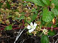 Starr-170516-0346-Rubus argutus-flowers fruit leaves-Lower Kula Pipeline Haiku Uka-Maui (35188830276).jpg