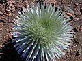 Starr 011003-0114 Argyroxiphium sandwicense subsp. macrocephalum.jpg