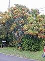 Starr 020108-0010 Schefflera arboricola.jpg