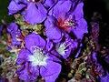 Starr 020815-0058 Tibouchina multiflora.jpg