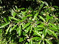 Starr 050216-4056 Pittosporum undulatum.jpg