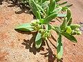 Starr 050404-5480 Heliotropium curassavicum.jpg