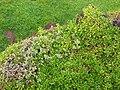 Starr 050405-5722 Portulaca villosa.jpg