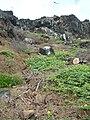 Starr 060228-8805 Amaranthus viridis.jpg