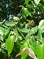 Starr 060703-8291 Eucalyptus deglupta.jpg