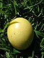 Starr 061128-1639 Passiflora edulis.jpg