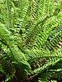 Starr 070221-4861 Nephrolepis cordifolia.jpg