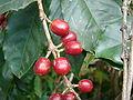Starr 070617-7329 Coffea arabica.jpg