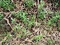 Starr 070908-9283 Eucalyptus globulus.jpg