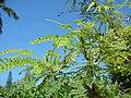 Starr 080531-5015 Leucaena leucocephala.jpg