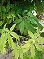 Starr 080610-8099 Syngonium podophyllum.jpg