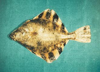 Starry flounder - Image: Starry flounder (Platichthys stellatus) at NOAA's Estuarine Research Reserve