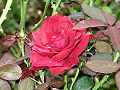 Stavenn Rosa 01.jpg