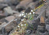 Stellaria crassipes Snöstjerneblom Longyearbyen Gruve 1 fj 02
