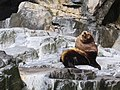 Steller Sea Lion Bull In Alaska.jpg