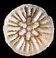 Stenocyathus calicular- ZooKeys-227-001-g013.jpg