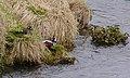Strömand Harlequin duck (14527047254).jpg