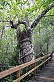 Strangler fig Big Cypress National Preserve.jpg