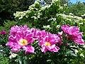 Strauch-Pfingstrose und Blüten-Hartriegel, Mainau 2015.jpg