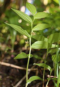 Streptopus streptopoides subsp. japonicus.JPG