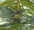 Striated Thornbill. Acanthiza lineata - Flickr - gailhampshire.jpg