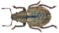 Strophosoma melanogrammum (Forster, 1771) (10435443085).png
