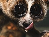 A close-up of a slow loris licking its nose and the sublingua sticking out beneath it.