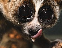 A close-up of a slow loris licking its nose and the sublingua sticking out beneath it