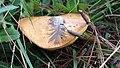 Suillus granulatus 294691.jpg