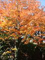 Summit New Jersey tree with autumn leaves.jpg