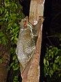 Sunda Flying Lemur (Galeopterus variegatus) (15665330906).jpg