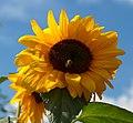 Sunflower (6086161479).jpg