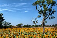 Agriculture in India - Wikipedia