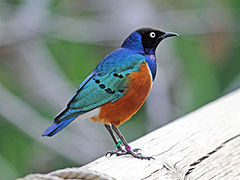 Superb Starling RWD5.jpg