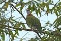 Superb fruit-dove at Tomohon (3).JPG