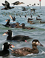 Surf Scoter From The Crossley ID Guide Eastern Birds.jpg