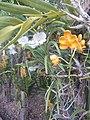 Suvarnabhumi Orchids Farm IMG 20160322 080317 (27447084955).jpg