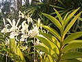 Suvarnabhumi Orchids Farm IMG 20160322 080839 (27170410260).jpg
