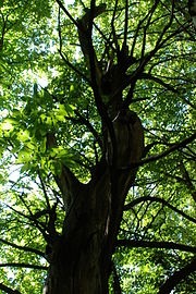 A view of a tree from below; this may exaggerate apparent height