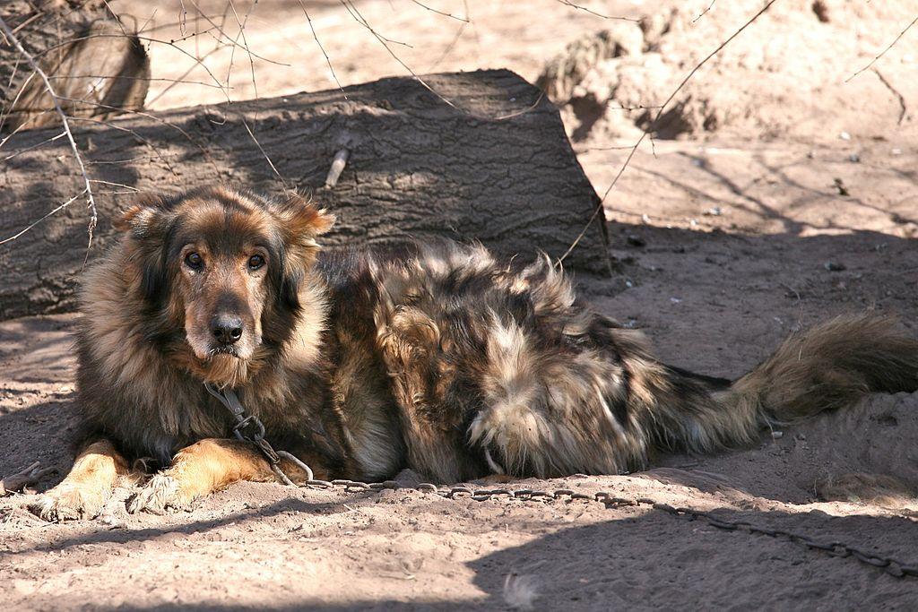 https://upload.wikimedia.org/wikipedia/commons/thumb/8/88/Sweet_Old_Dog_%286077228604%29.jpg/1024px-Sweet_Old_Dog_%286077228604%29.jpg